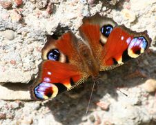 Free Butterfly Royalty Free Stock Photo - 3410835