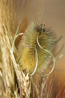 Dry Thistle Stock Image