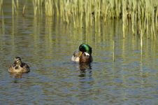 Free Pair Of Mallards_38 Stock Images - 3412514