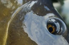 Free Carp Eye Detail Stock Images - 3415354