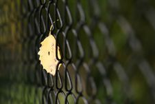 Free Leaf On Fencing Royalty Free Stock Photography - 3415947