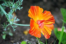 Free Californian Poppy, Escholzia Royalty Free Stock Photography - 3416097