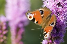 Peacock Butterfly Royalty Free Stock Images