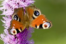 Free Peacock Butterfly Stock Image - 3416181