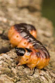 Free Caterpillar Royalty Free Stock Photos - 3416208