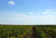 Vineyards At Portugal Royalty Free Stock Image
