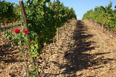 Vineyards At Portugal Stock Photography
