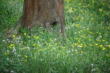 Old Tree And Wild Flowers Stock Image