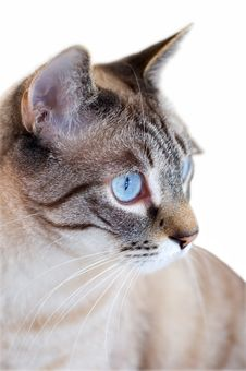 Cat Staring With Blue Eyes Stock Images