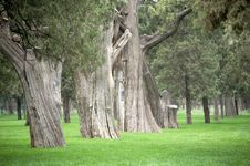 Free Old Cypress Trees In Park Royalty Free Stock Images - 3417689