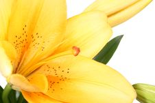 Free Orange Lilly Flower On White B Stock Images - 3418314