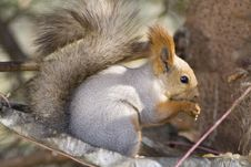 Free Eating Squirrel Royalty Free Stock Photos - 3418458