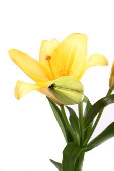 Free Orange Lilly Flower On White B Royalty Free Stock Photo - 3418515