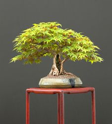 Free Japanese Maple Bonsai Royalty Free Stock Image - 3418776