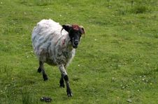 Free Coloured Sheep Stock Photography - 3419152