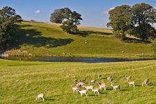 Fallow Deer In Dallam Park Stock Images
