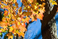 Free Maple Tree Royalty Free Stock Images - 3419519