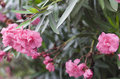 Free Oleander Flowers Stock Image - 34105241