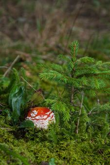 Free Mushroom In The Grass Royalty Free Stock Photography - 34156797