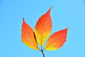 Free Three Red Leafs In The Sun. Stock Photo - 34162670