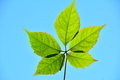Free Five Green Leafs In The Sun. Royalty Free Stock Image - 34162716