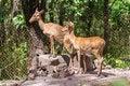Free Female Deers Stock Image - 34165411