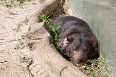 Free Tasmanian Devil Royalty Free Stock Photography - 34161237