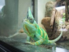 Free Captive Chameleon Royalty Free Stock Photos - 34162948