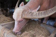 Free Albino Buffalo Royalty Free Stock Photo - 34165135