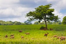 Group Of Wild Hog Deer Stock Images