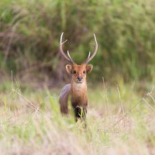 Male Hog Deer Royalty Free Stock Image