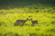 Hog Deer On Grassland Royalty Free Stock Image