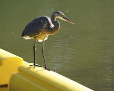 Free Great Blue Heron On River Boom Stock Photo - 34165720