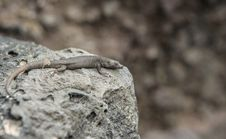 Rock Lizard Royalty Free Stock Images