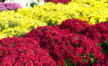 Free Autumn Mums Royalty Free Stock Image - 34176166