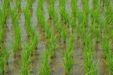 Free Young Rice In The Rice Field Stock Image - 34175491