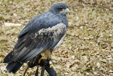 Free Portrait Of A Black Chested Buzzard Royalty Free Stock Image - 34179246