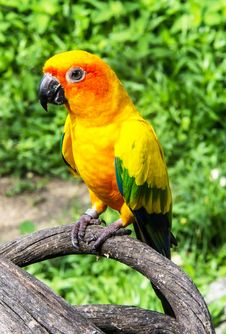 Free Beautiful Colorful Parrot, Sun Conure (Aratinga Solstitialis), G Royalty Free Stock Image - 34179286