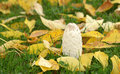 Free White Mushroom And Yellow Leaves Royalty Free Stock Photo - 34181535