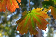Free Colourful Maple Leaves Stock Images - 34181574