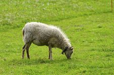 Free Sheep Eating Grass In A Field Royalty Free Stock Photography - 34183067