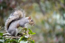 Free Cape Grey Squirrel Royalty Free Stock Photography - 34187467