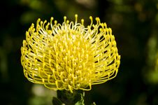 Free Pincushion Protea Stock Images - 34187714