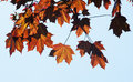 Free Autumn Leaves On Tree Royalty Free Stock Image - 34195436