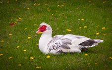 Free Mother Goose Stock Photography - 34195612