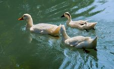 Geese In Park Creek Stock Images