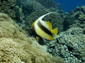 Free Red Sea Bannerfish Stock Images - 3423224