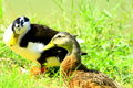 Free Wild Ducks Stock Image - 3425341