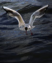 Free Gull - Hunting For Life Stock Images - 3425514