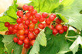 Free Red Ripe Berries Royalty Free Stock Photography - 3427327